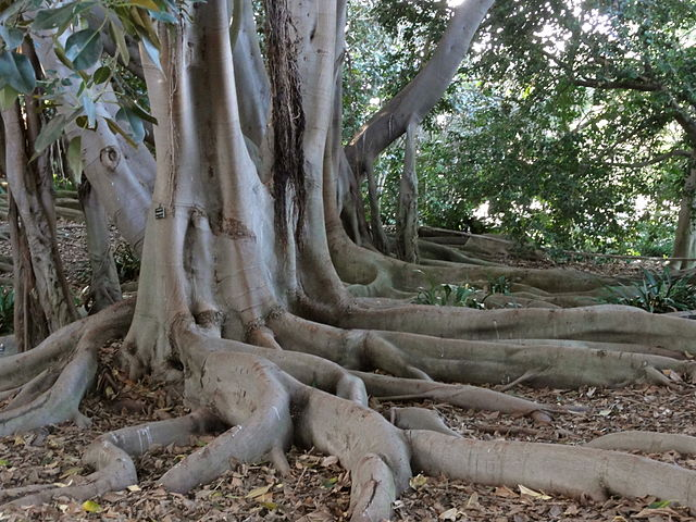 An image of Buttress Roots in the Amazon Rainforest
