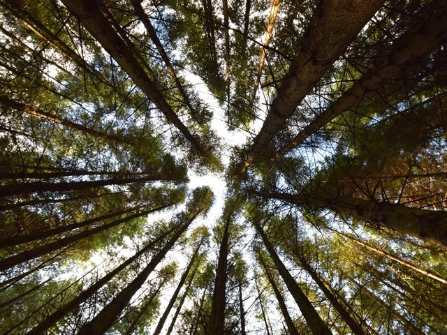view from the Coniferous Forest floor looking up to tree tops