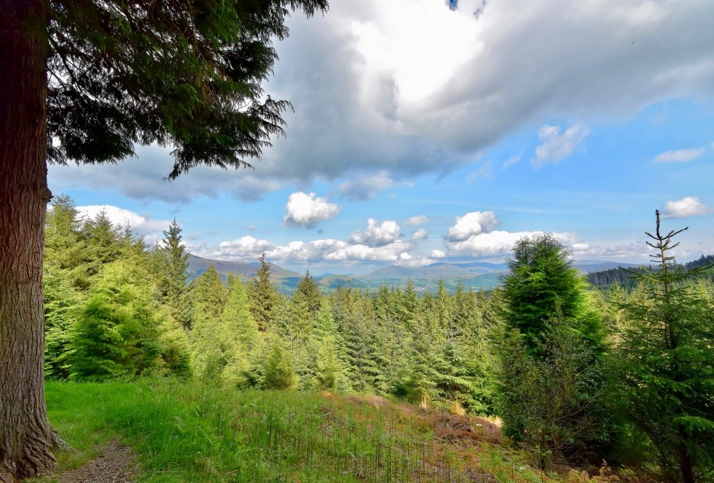 A coniferous forest in The Lake District