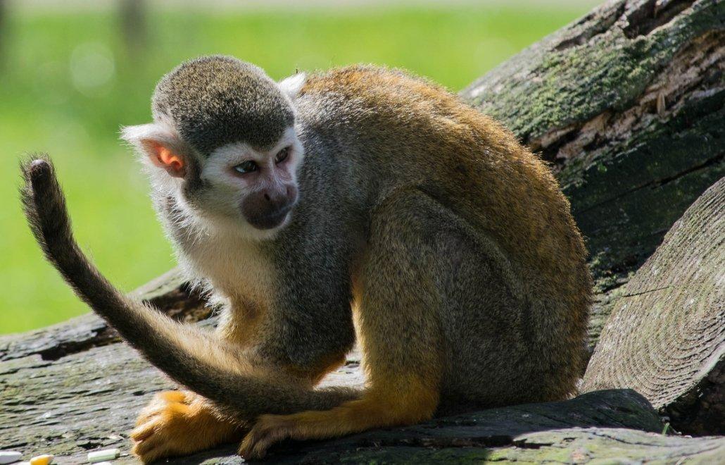 A spider monkey