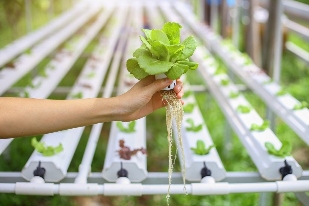 Hydroponics method of growing plants using mineral nutrient solutions, in water, without soil.