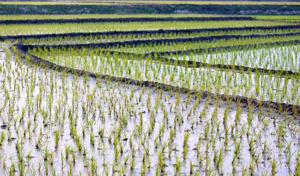 rice-fish farming in Bangladesh