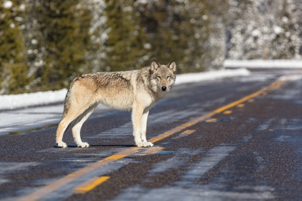 A lone wolf at Yellowstone National Park