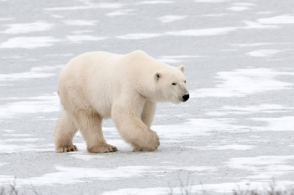 A polar bear walking on ice